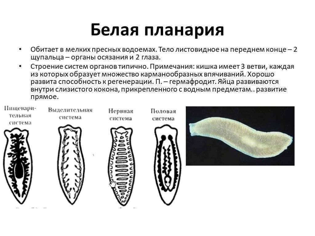 Класс ресничные черви (turbellaria)