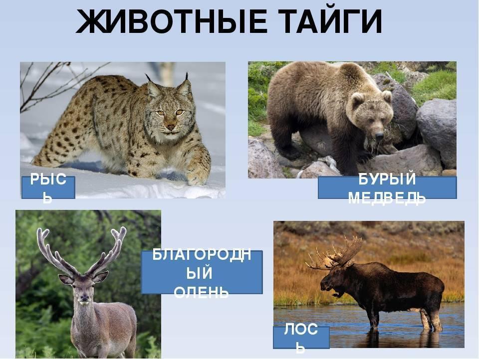 Причудливый мир животных тайги