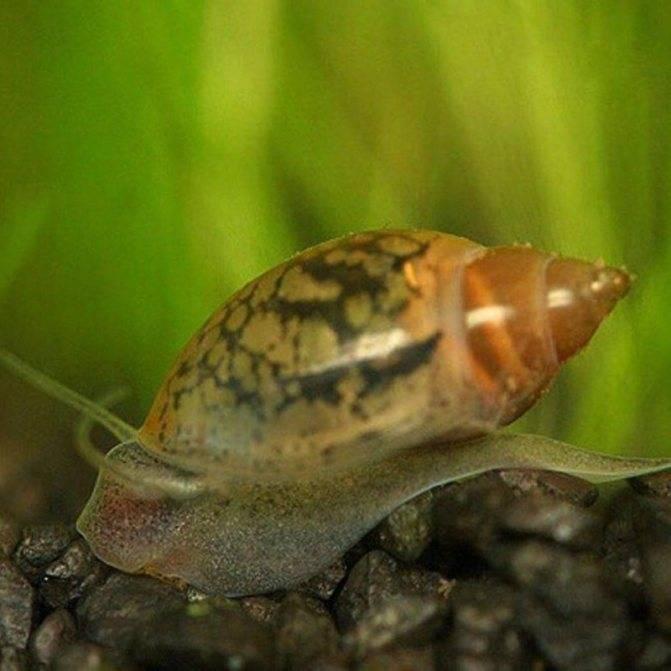 8 видов полезных аквариумных улиток с фото, видео, описанием, уходом
