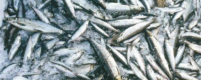 Ряпушка: польза, калорийность и где водится рыба. как готовить ряпушку в домашних условиях | знать про все