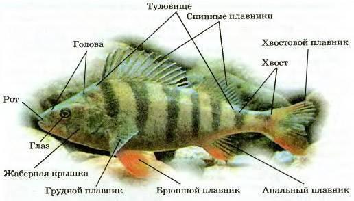 Окунь – описание, виды, чем питается, где обитает, фото