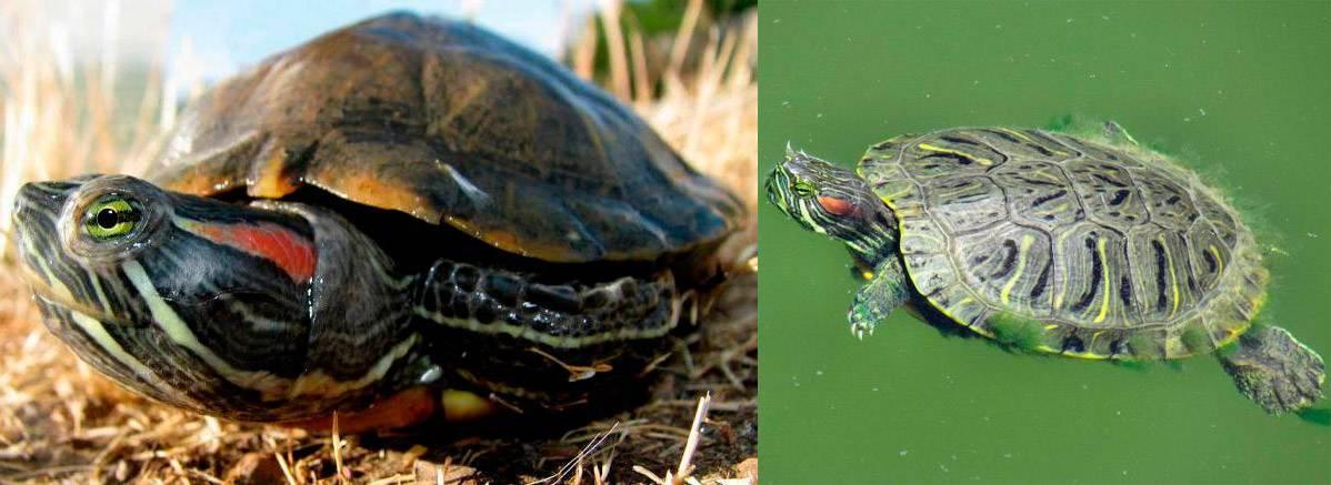 Сколько может прожить красноухая черепаха без воды?