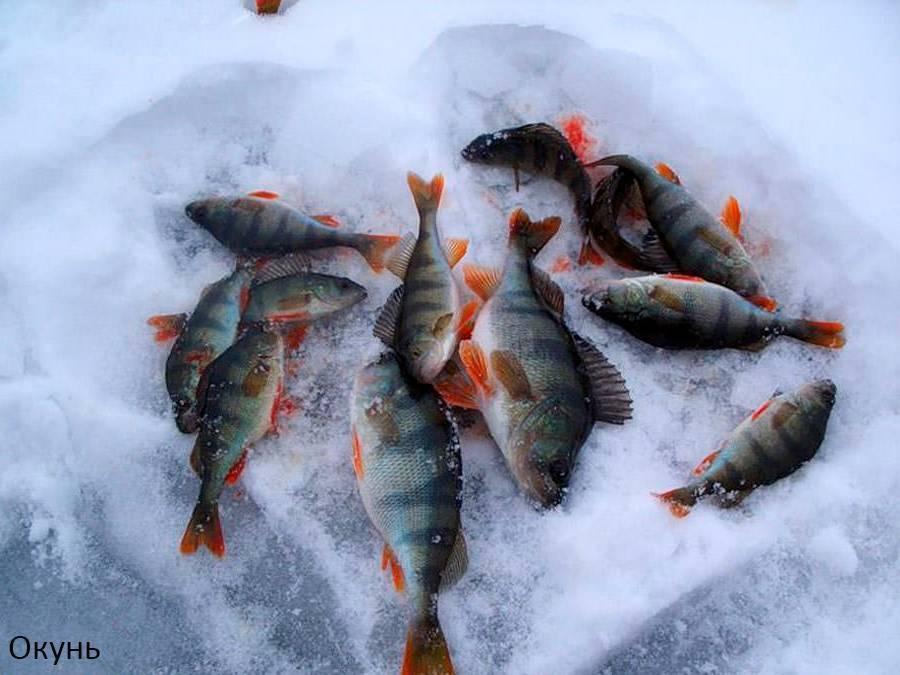 Прикормка для окуня зимой своими руками: особенности