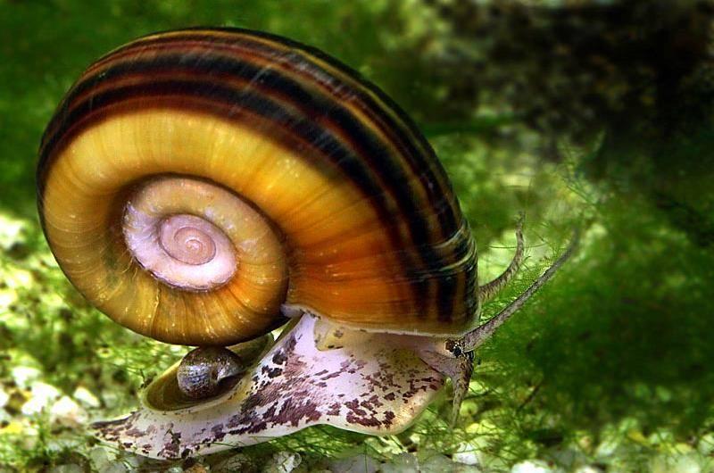 Улитка катушка - содержание в аквариуме, кормление, виды, фото