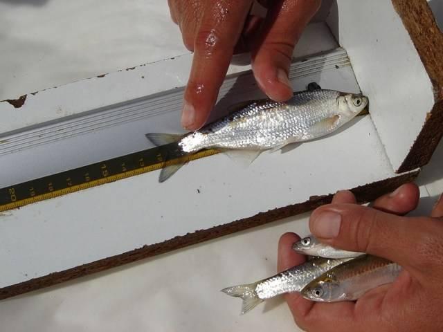Особенности поведения рыбы уклейки: как живёт верховодка