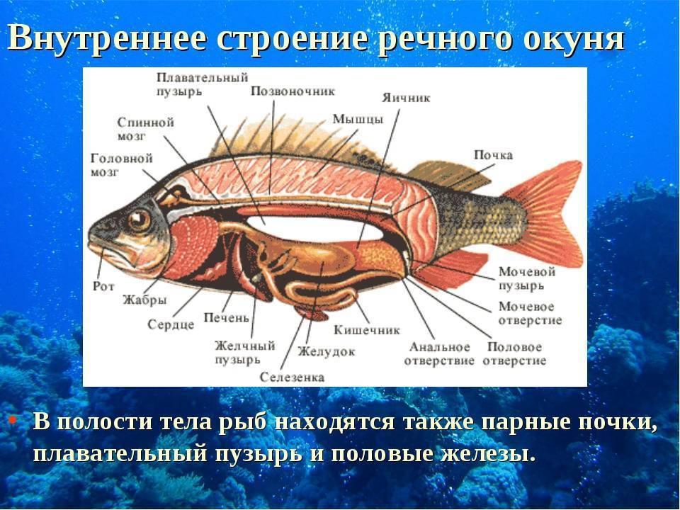 Окунь: виды, нерест, места обитания, образ жизни, приманки, ловля и фото окуня