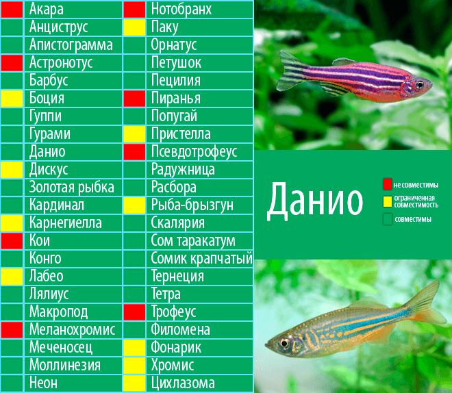 Акантофтальмус майерса (pangio myersi)