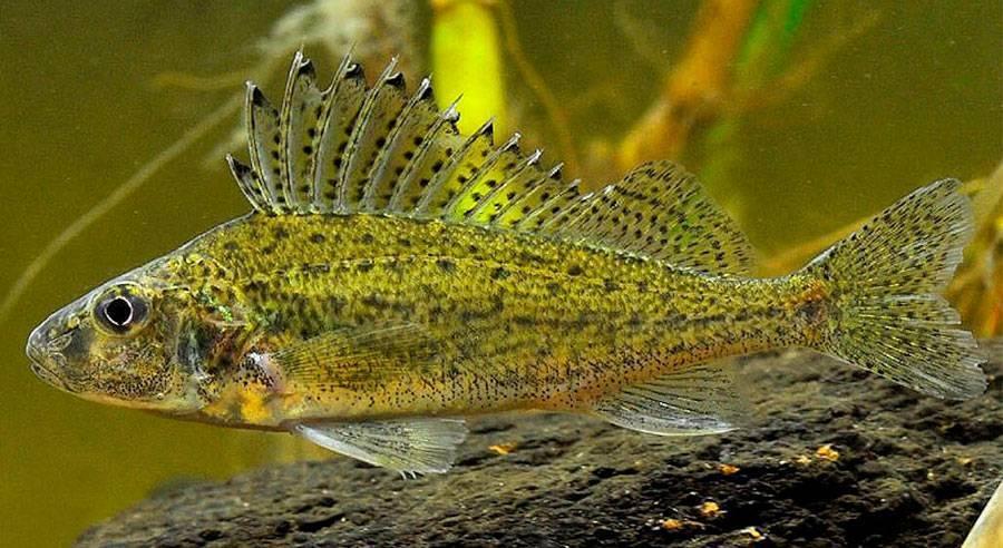 Рыба ? ёрш. как выглядит ерш обыкновенный ?, чем отличается морской от речного ерша, фото и видео