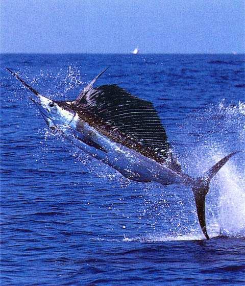 Какая рыба в океане плавает быстрее всех?