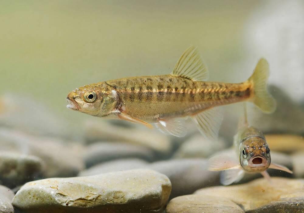Рыба гольян: места обитания, особенности питания и размножения, техника ловли