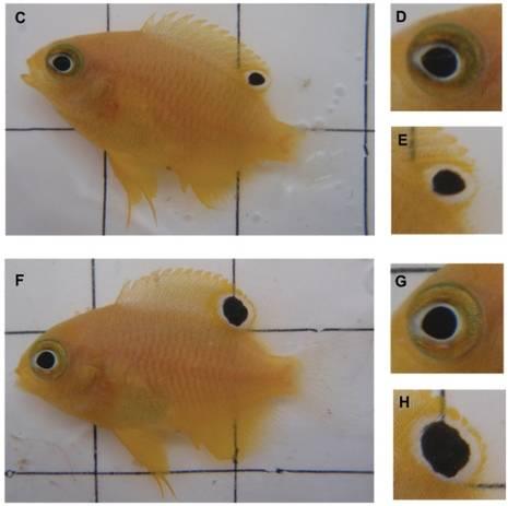 Золотая рыбка почему отпадает хвост