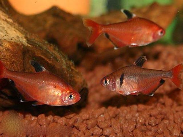 Красная рубостигма или красный орнатус (hyphessobrycon pyrrhonotus)