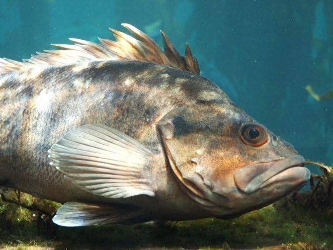 Морской окунь — что это за рыба и что из нее можно приготовить | lovitut.ru (рыбалка и бильярд) | яндекс дзен