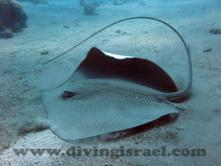 Рыба-лиса (черноморская) — как приготовить, фото, особенности рыбалки