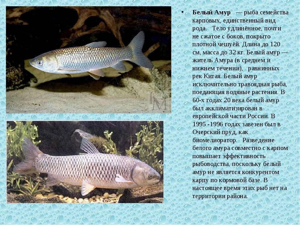 Рыба амур, ареал ее обитания, внешний вид и повадки – рыбалке.нет