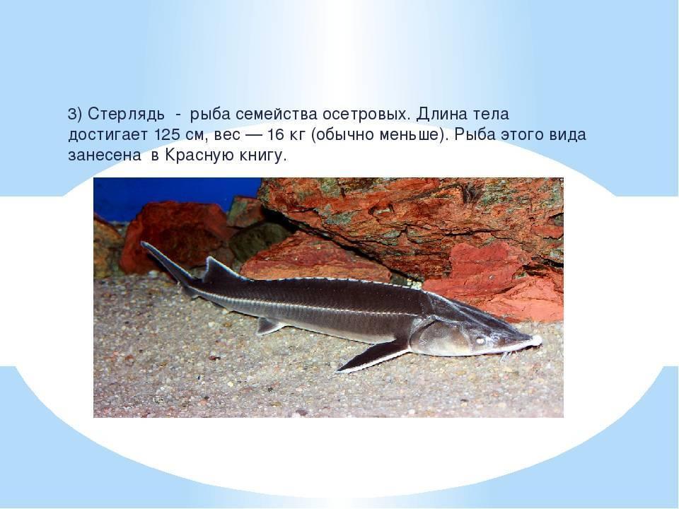 Осетровая рыба: характеристика семейства и места обитания, список популярных видов осетра, как проходит нерест