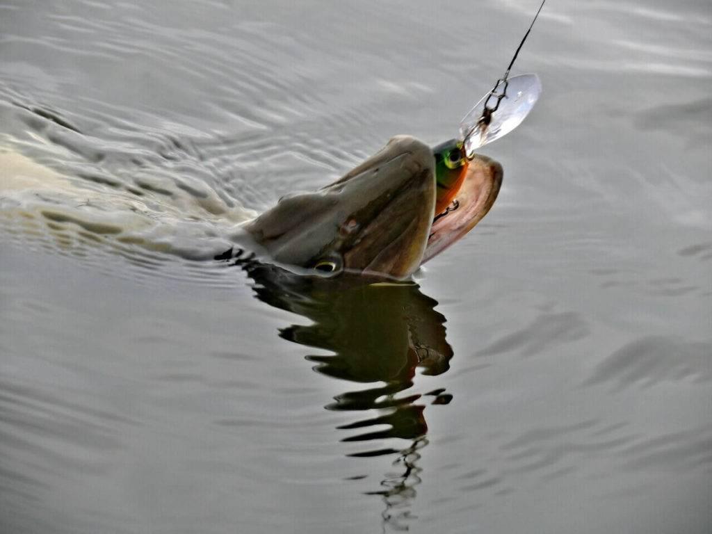 Береговая ловля налима осенью: снасти, оснастка, наживка