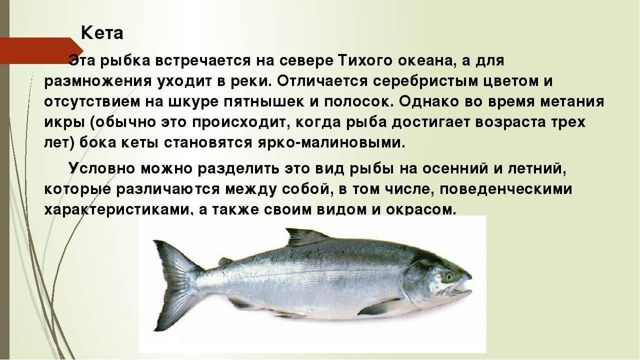 Красная рыба кета: как выглядит, где водится, как выбрать вкусную | berlogakarelia.ru