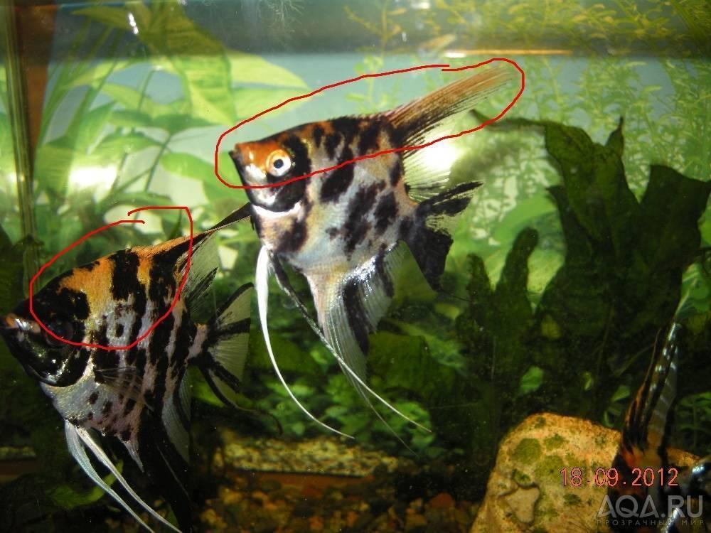 Лечение плавниковой гнили у аквариумных рыбок