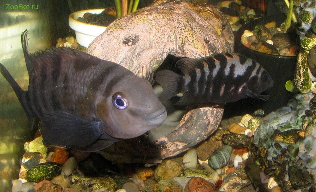 Цихлиды (аквариумные рыбки): размножение в домашних условиях