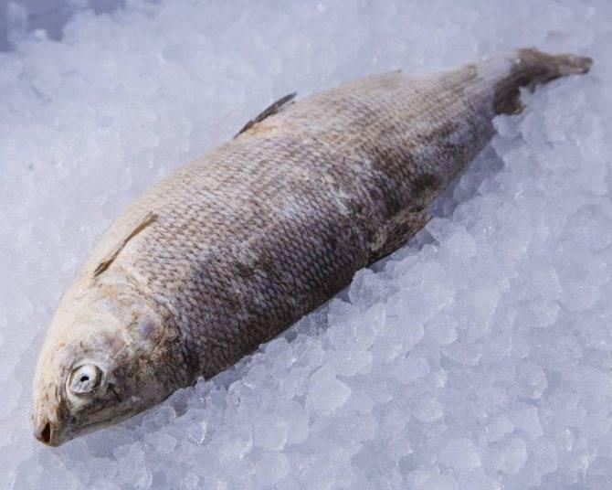 Рыба муксун: польза и свойства. как приготовить муксун и рецепты | знать про все