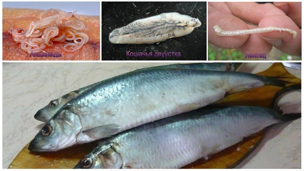 Какие паразиты в морской и речной рыбе опасны для человека