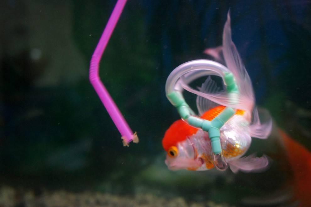 Почему рыбка плавает вертикально » домашний аквариум