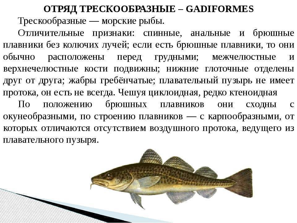 Семейство лососевых — список и виды рыб, отличительные особенности
