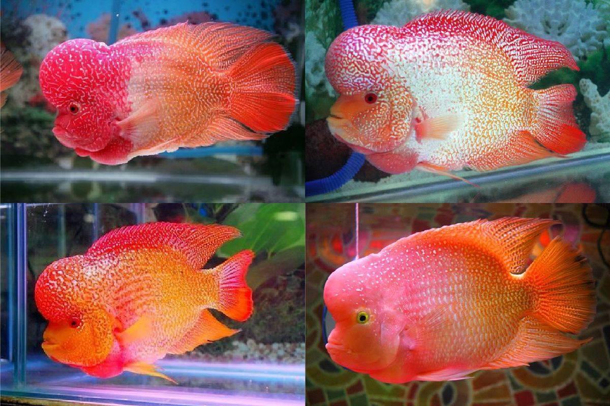 Фловер хорн (флауэр хорн): обитание, описание и поведение рыбы в домашних условиях