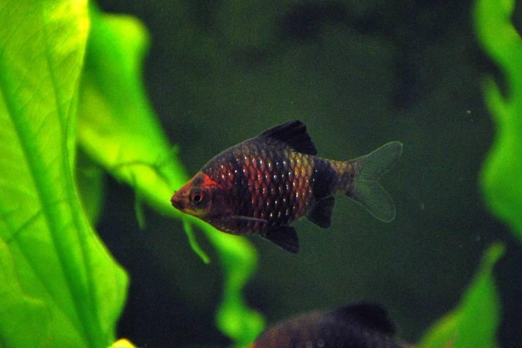Разведение суматранских барбусов: особенности нереста в общем аквариуме и отдельной емкости, а также уход за мальками в домашних условиях