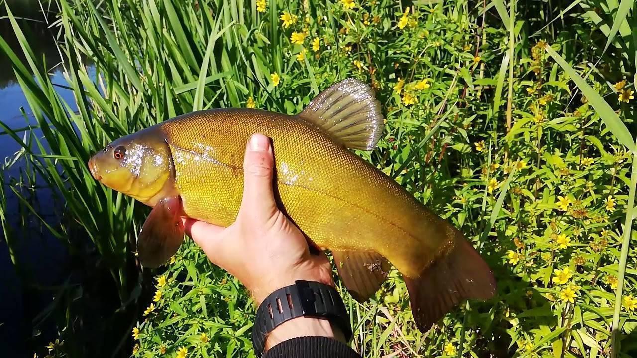 Рыба линь фото и описание, питание, где обитает • мега рыбак