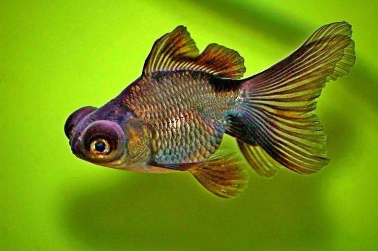 Рыба телескоп: фото и содержание в аквариуме