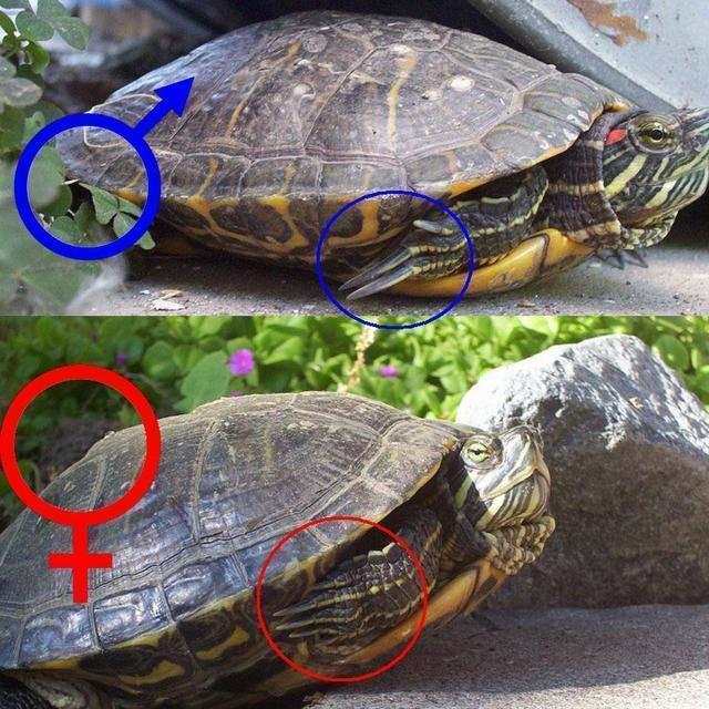 Как определить пол красноухой черепахи: как отличить самку от самца по внешним данным, поведению?