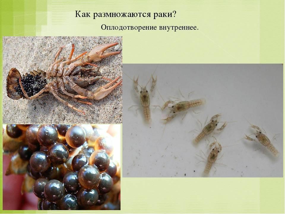 Размножение барбусов (разведение) в домашних условиях: нерест, отличия самки от самца, беременность, в общем и отдельном аквариуме, мальки (выращивание, кормление)