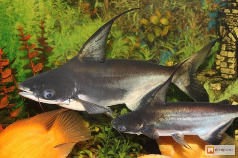 Аквариумный акулий сом пангасиус: содержание, совместимость