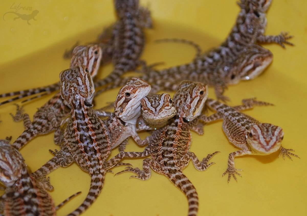 Домашние ящерицы - советы по выбору, уходу и правильному содержанию (110 фото)