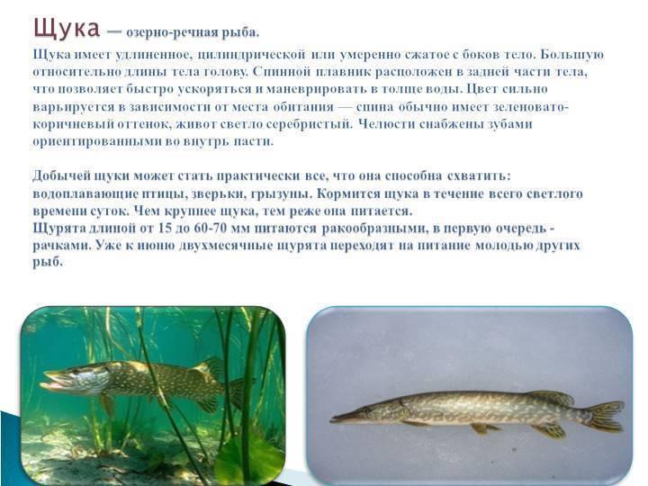 Разновидности речных рыб: виды, список, названия, описание с фото и места обитания