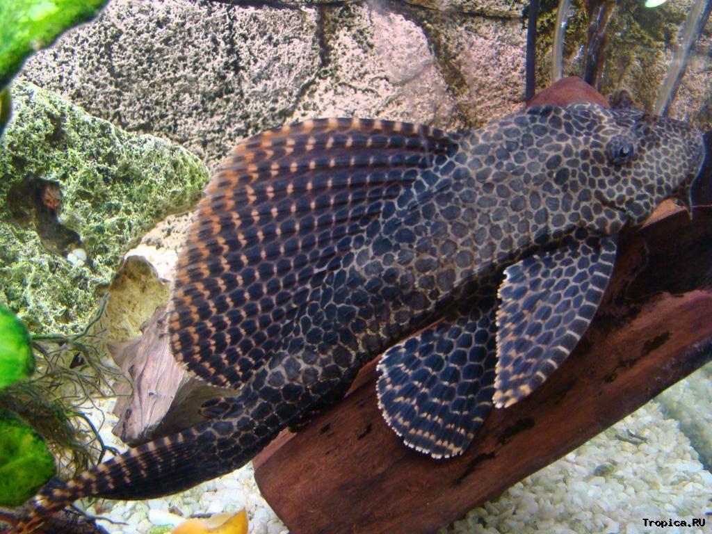 Все о соме птеригоплихте (28 фото): особенности содержания аквариумного парчового сома, отличия от плекостомуса. сколько живет в аквариуме? виды птеригоплихтов
