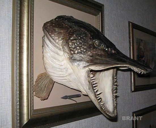 Как сделать чучело из рыбы. таксидермия.