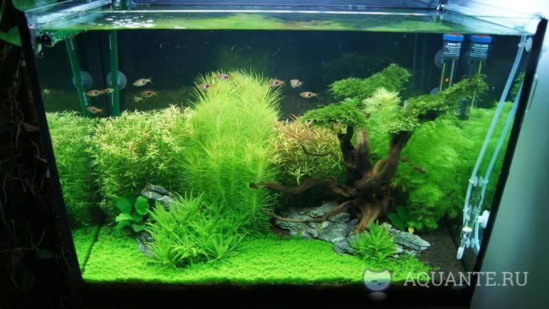 Хемиантус микрантемоидес: содержание в аквариуме
