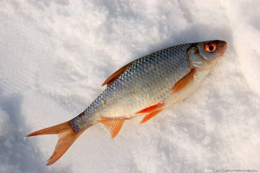 Рыба сорога: отличия, где обитает, снасти для ловли и простые рецепты