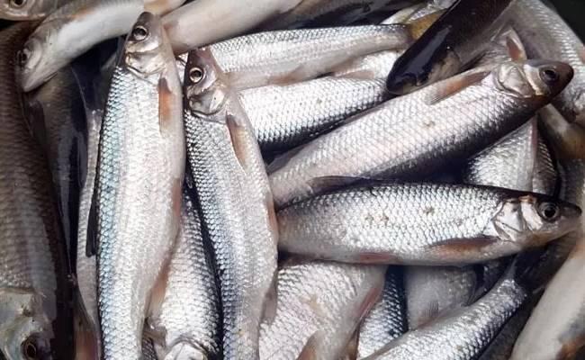 Секреты приготовления, польза и вред рыбы хоки (макрурус)