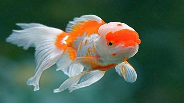 Золотые рыбки: уход и содержание в аквариуме, виды и их характеристики, размножение в домашних условиях