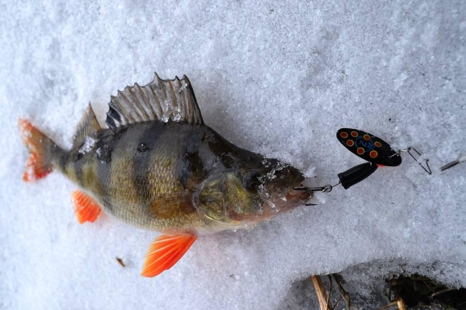 Ловля окуня зимой: на блесну, балансир и мормышку
