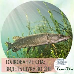 Magiachisel.ru: сонник.что означает когда снится щука. к чему снится щука. видеть это во сне.