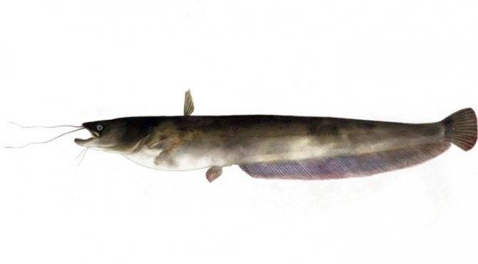 Сом – особенности рыбы