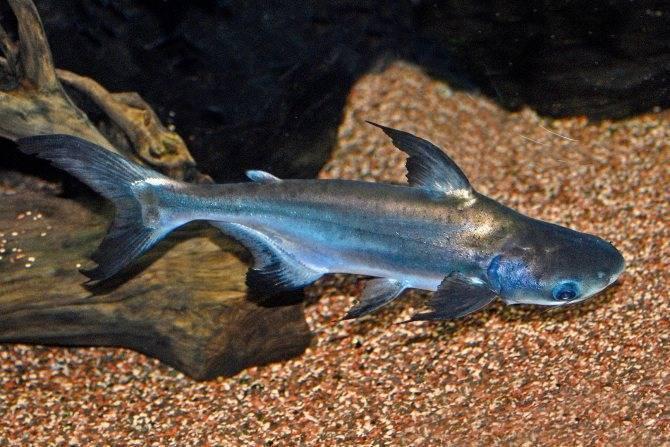 Аквариумный акулий сом (12 фото): особенности содержания пангасиуса в аквариуме, совместимость с другими рыбами