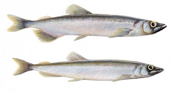 Мойва – польза, вред и калорийность, советы по выбору рыбы, рецепты с фото на ydoo.info