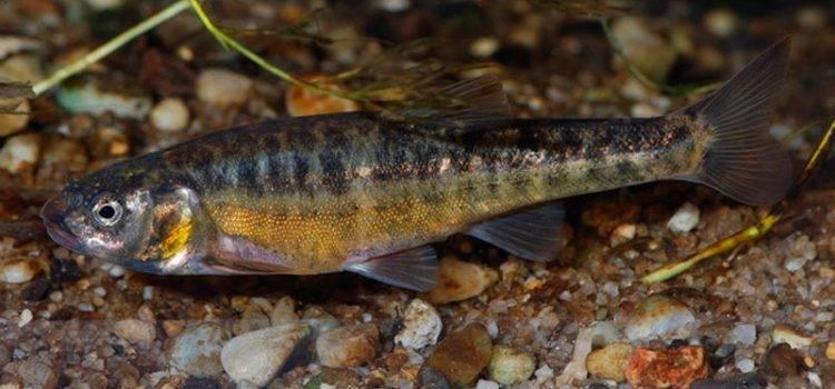 Гольян рыба википедия – уход за волосами