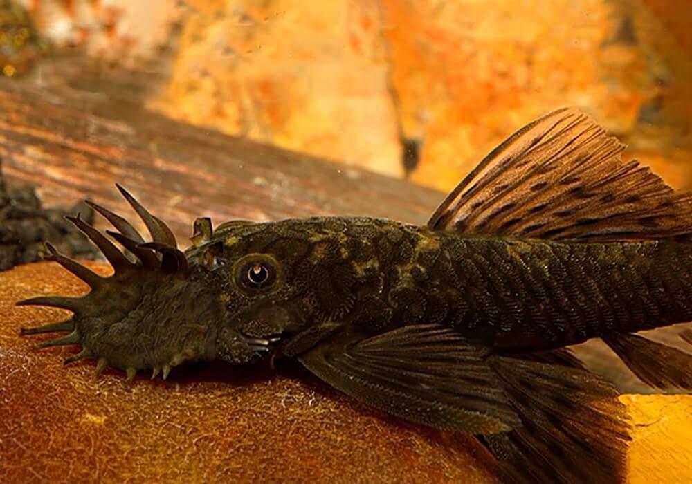 Сомик анциструс: уход и разведение аквариумного чистильщика